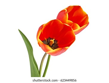Spring bouquet. Two red tulips on a white background.