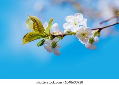 Spring branch blossom against blue sky.
