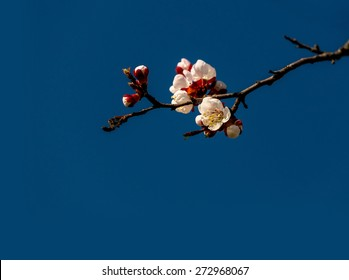 Spring branch blossom against blue sky.