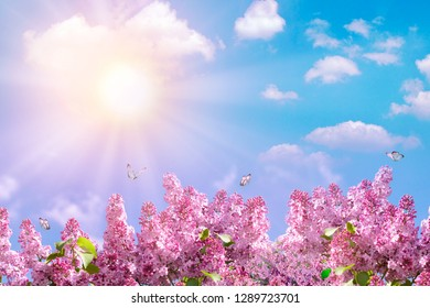 Spring branch of blossoming lilac with butterfly. Nature spring background with sunlight. Space for text. Blue sky at sunny day