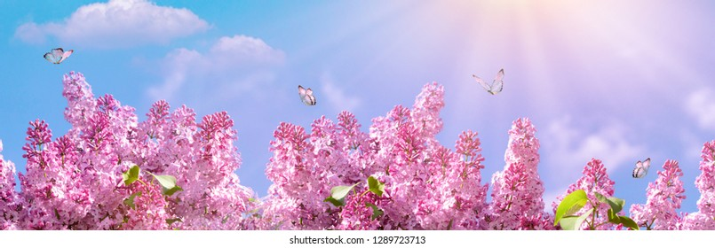 Spring branch of blossoming lilac with butterfly. Nature spring background with sunlight. Space for text. Panoramic view