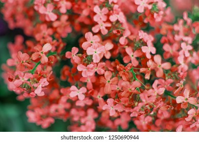 Spring branch of blossoming lilac. Color of the year 2019 Living Coral