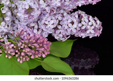 Spring branch of blossoming lilac, reflection of lilac in black glass
