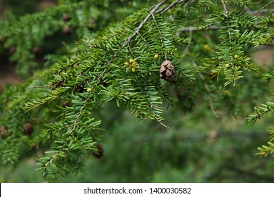 Spring branch with cone and flowers of coniferous Eastern Hemlock tree, also called Canadian Hemlock, latin name Tsuga Canadensis, native to eastern north America