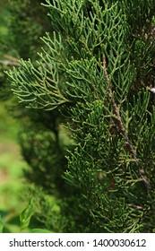 Spring branch detail of Mediterranean Cypress tree, also called Italian Cypress, latin name Cupressus Sempervirens, during spring season