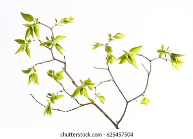 Spring branch with fresh foliage on white background