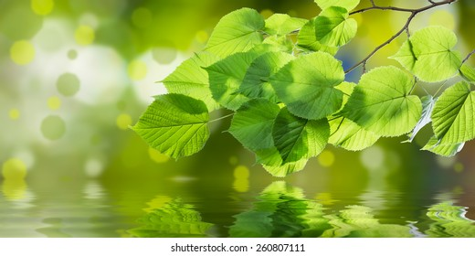 Spring branch with leaves reflection in water, nature green background