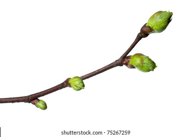 Spring branch of a Lime Tree, isolated