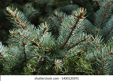 Spring branch tips of coniferous Blue Spruce tree, also called Green Spruce, White Spruce or Colorado Spruce, latin name Picea Pungens, sunbathing in afternoon sunshine.