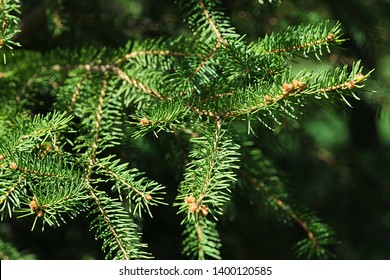 Spring branch tips of coniferous tree Eastern White Pine, also called Northern White Pine, latin name Pinus Strobus, sunbathing in afternoon sunshine.