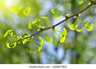 Spring branch with young green leaves of Ginkgo Biloba.
