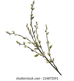 Spring branches Catkins Willow isolated on white background