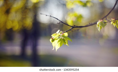 Spring branches of a linden with young green leaves.