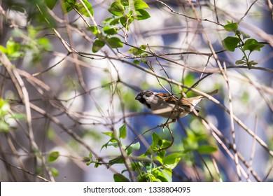 Spring. The branches of the shrub with the first tender greens. A sparrow jumps on a branch. Frolicking. Enjoys the sun and heat. - Shutterstock ID 1338804095