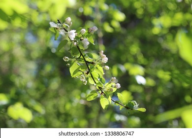 Spring. The branches of trees with the first tender greens. On the branch of a wild apple the first gently pink flowers and buds. Sonechno. Warm. - Shutterstock ID 1338806747