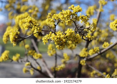 Spring budding Cornus is commonly known as dogwoods. Cornelian cherry or European cornel is a shrub with red fruits that is also often wild. He is also one of the medicinal plants.  - Shutterstock ID 1922174279