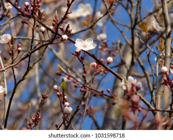 Spring Buds and Blossoms.