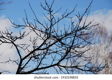 Spring buds on the branches of a tree. Spring branches of an old plum tree with swelling buds. In the background, the trunk and branches of a birch and a blue sky with white clouds.