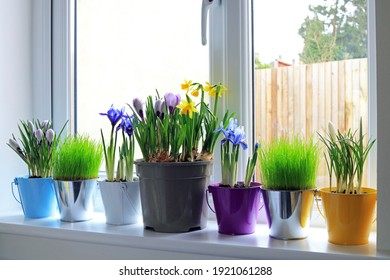 Spring Bulbs And Fresh Grasses In Colourful Pots Growing On A Home Interior Window Ledge.