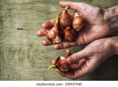 spring  bulbs of plants in the hands of farmer.Copy space.Agriculture.