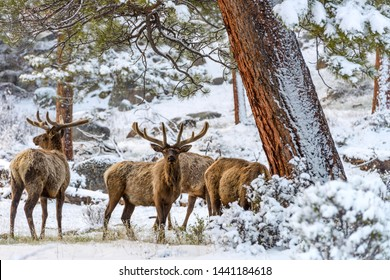 Spring Bull Elk - A group of bull elk grazing in a snow-covered mountain forest on a snowy Spring evening in Rocky Mountain National Park. Colorado, USA.