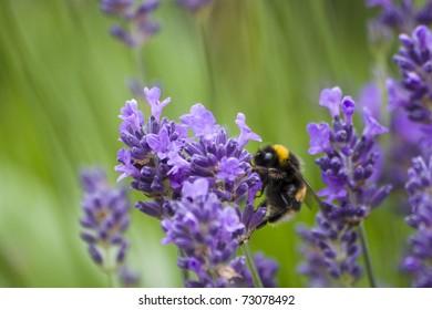 Spring Bumblebee on Lavender