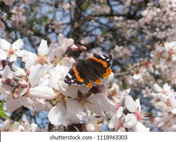 Spring Butterly on Cherry Blossoms