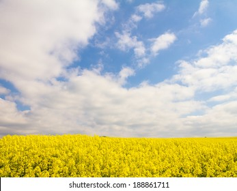 Spring Canola in Bavaria, Germany / Europe. Golden Rapeseed in April in the meadows