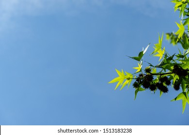 Spring carved leaves Liquidambar styraciflua and brown spiky balls against blue cloudless sky. Selective focus. Leaves and balls with seeds on branch Liquidambar styraciflua close-up.