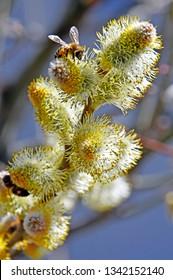 spring catkin flowers stamens