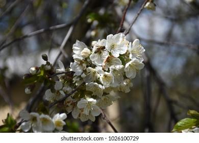 spring cherry bloom