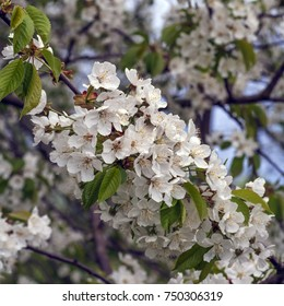 In the spring cherry blooms beautifully