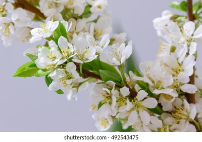 Spring Cherry Blossom Background, Abstract Background Of Blossoming Tree Brunch With Green Leaves And White Flower On Bokeh Green Background, Mother's Day, Wedding, Birthday, Easter, Valentines Day