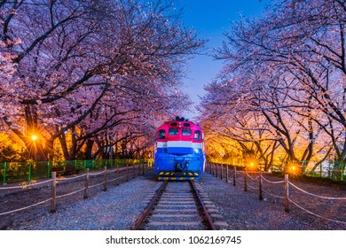 Spring Cherry blossom festival at Gyeonghwa railway station at Night.Jinhae,South Korea.