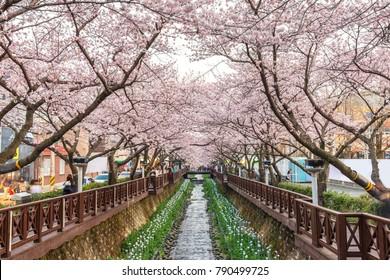 Spring Cherry blossom festival at Yeojwacheon Stream, Jinhae, South Korea