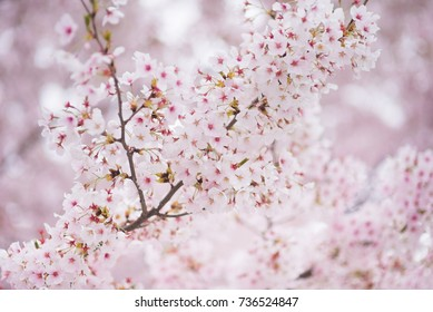 Spring cherry blossom in full bloom, Abstract sakura background