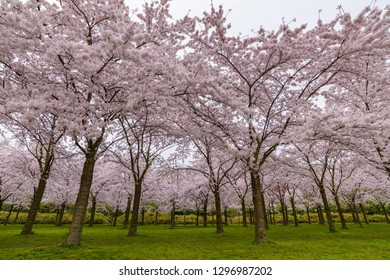 Spring cherry blossom garden in Amstelveen, Amsterdam Netherlands