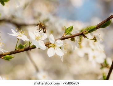 Spring Cherry Blossom Honey bee flying on blooming flowers.