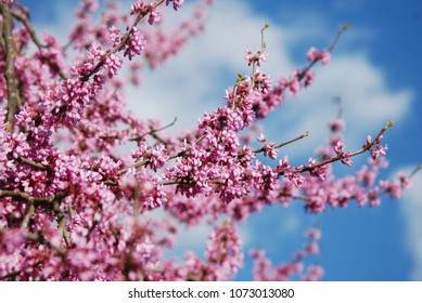 Spring Cherry Blossom Sakura iFlowers Bunch on the Tree over Blue Sky. Walpaper.