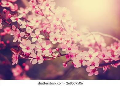 spring cherry blossom tree with a sun flare with a retro instagram filter (shallow depth of field)