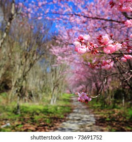 spring cherry blossoms along the pathway