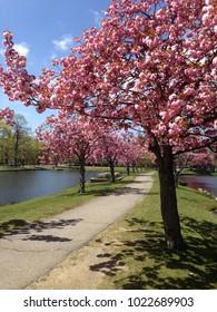 Spring cherry blossoms in bloom at Argyle Park in Babylon, New York
