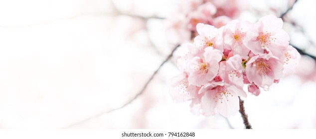 Spring Cherry blossoms blooming, pink flowers, Sakura Japanese flowers season, with blank copy space