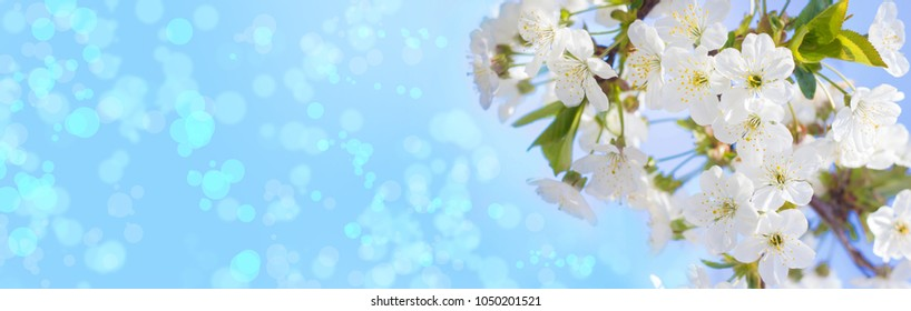 Spring cherry blossoms closeup, white flower sunny day, against the blue sky. Blurred space for text, a banner for the site. Panorama. Skinali.