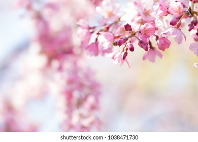 Spring Cherry blossoms in full bloom with cute new flower buds which are darker pink . Focus on flower bud. Shallow depth of field.