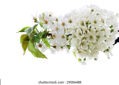 Spring cherry blossoms isolated on white background