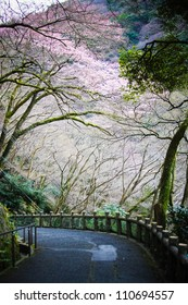 Spring cherry blossoms near the famous Minoh waterfall sightseeing spot