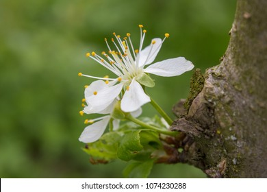In spring, the cherry blossoms on the tree trunk