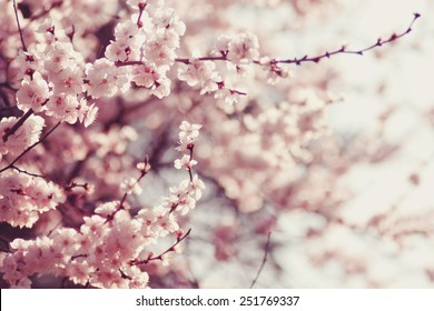 Cherry images stock photos vectors shutterstock spring cherry blossoms pink flowers mightylinksfo Gallery