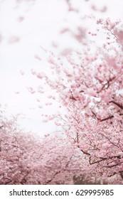 Spring cherry blossoms, pink sakura flowers.